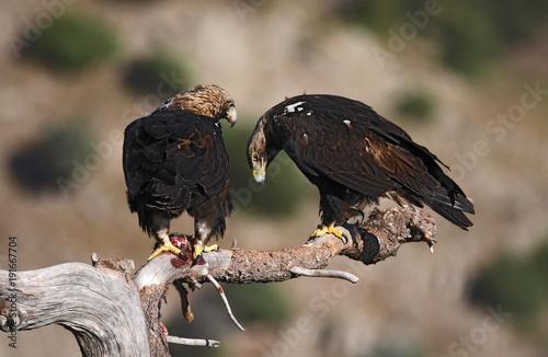 Aluminium Eagle La pareja de aguilas imperiales
