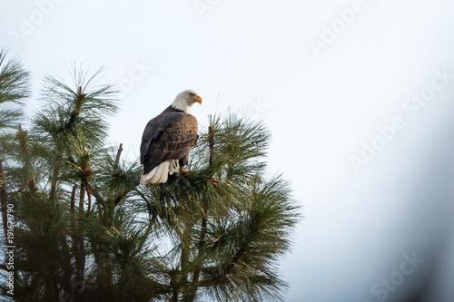 Aluminium Eagle Bald Eagle Back