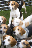 A small pack of alert waiting Beagles - 191674790