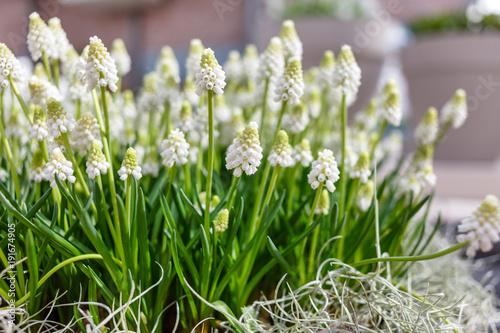Foto op Canvas Amsterdam white muscari flowers