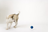 Fluffy young Husky dog puppy watches a bouncing ball - 191676775