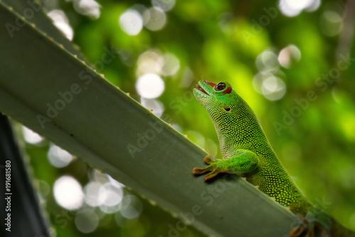 Fotobehang Kikker Madagascar Day Gecko - Phelsuma madagascariensis, Madagascar forest. Cute endemic Madagascar lizard.