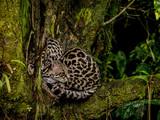 Margay (Leopardus wiedii) with cub, La Fortuna, Costa Rica