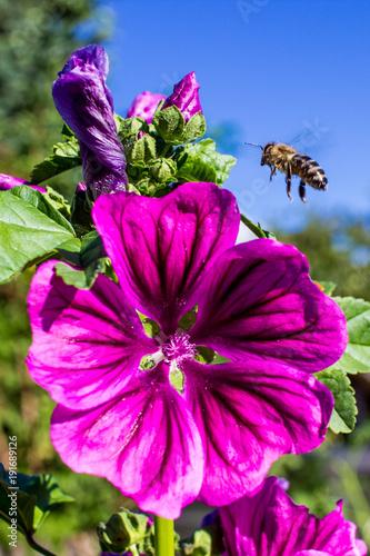 Biene im Anflug auf Blüte