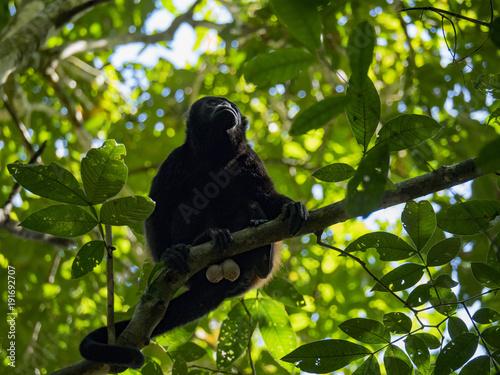 Fotobehang Aap Golden-mantled howler monkey (Alouatta palliata palliata), Corcovado National Park, Costa Rica