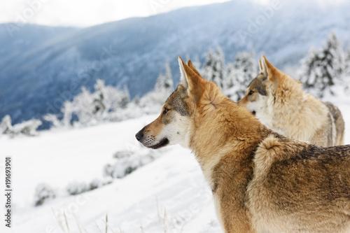 Aluminium Wolf Wolf in fresh snow