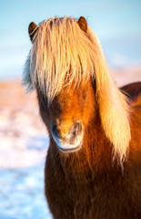 Portrait of an icelandic horse with a beatiful blonde mane