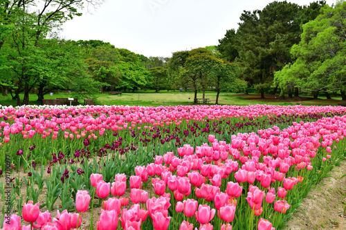 Fotobehang Tulpen 満開のチューリップ咲く公園