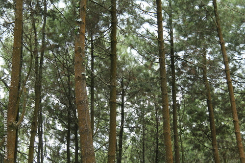 Papiers peints Kaki scenery in the pine forest.