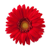 Bright red Gerbera flower isolated on white background. - 191722168