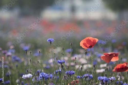 Fotobehang Klaprozen Wonderful poppy field