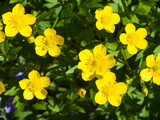 Flowers of Tall Buttercup or Ranunculus acris close-up, selective focus, shallow DOF - 191726536