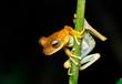 Frosch Peru