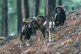 Mouflon males on slope in hilly pine forest. - 191727757