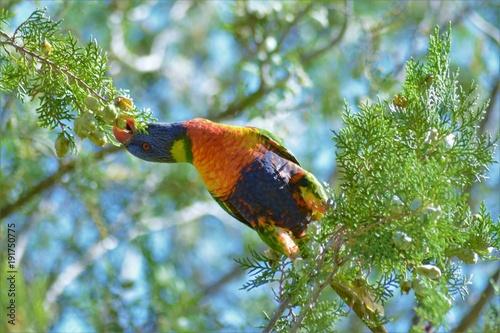 lorysa-gorska,-gatunek-ptaka-z-rodziny-papug-wschodnich