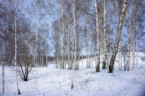 Fotobehang Berkenbos Birch bare trees grow on a snowy hill, against a blue sky.