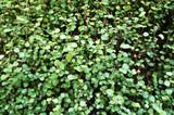 Muehlenbeckia complexa or maidenhair vine or creeping wire vine ornamental green plant  - 191751970