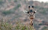 giraffa 3 - 191752972