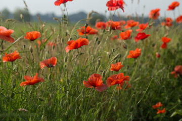 green, poppy, summer, flower, field, nature, red