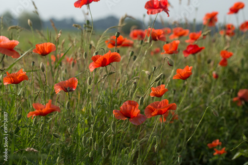 Fotobehang Klaprozen green, poppy, summer, flower, field, nature, red