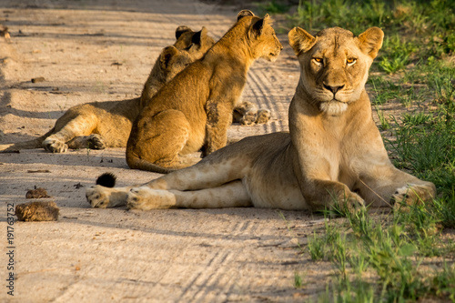 Fotobehang Lion Lioness and cubs