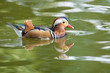 Quadro MAndarin Duck Drake