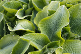 Vibrant green hosta leaves full frame close-up after rain - 191765310