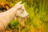 Goat grazing on green hill - 191767125