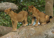 Two little lions on a branch