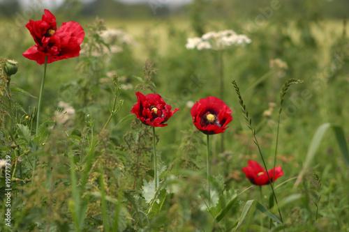 Fotobehang Klaprozen Field poppies