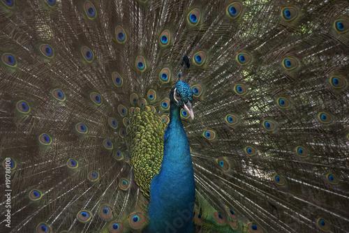 Fotobehang Pauw Blue peacock