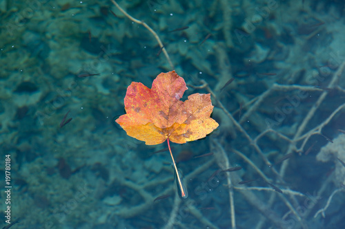 A maple leaf floating on clear water with small fish below the surface. The leaf is faded between red orange and yellow. The water is a deep turquoise blue. There are a lot of minnows.