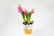 Three blooming pink hyacinth in bucket.