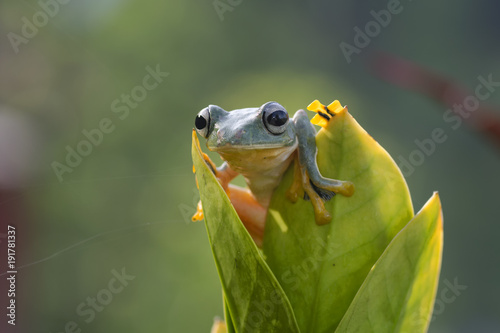Fotobehang Kikker Green tree frog
