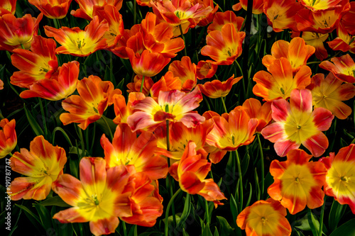 Foto op Aluminium Rood traf. Red and Yellow tulip flowers in a garden in Lisse, Netherlands, Europe