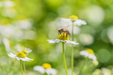 Bee picking pollen chamomile flower. Beauty natural background.  - 191788173