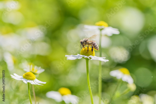 Fotobehang Bee Bee picking pollen chamomile flower. Beauty natural background.