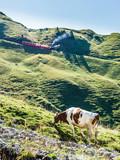 Zahnradbahn auf das Brienzer Rothorn und Kuh am weiden im Berner Oberland, Schweiz - 191790360