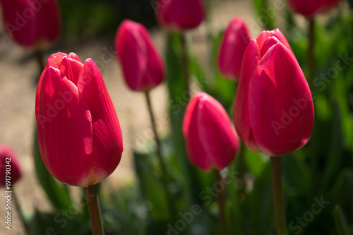 Foto op Canvas Bordeaux red tulips with white lining in Lisse, Keukenhoff, Netherlands, Europe