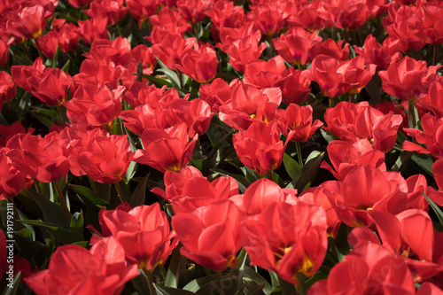 Fotobehang Rood traf. Red tulips in a garden in Lisse, Netherlands, Europe