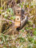 Northern Flicker (Colaptes auratus) - 191794534