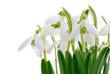 Snowdrops (Galanthus nivalis) on white background
