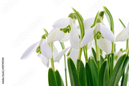 przebisniegi-na-bialym-tle,-kwiaty