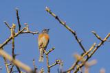 Eastern Bluebird sitting on the branch - 191798528