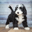 Adorable Bernedoddle Puppy