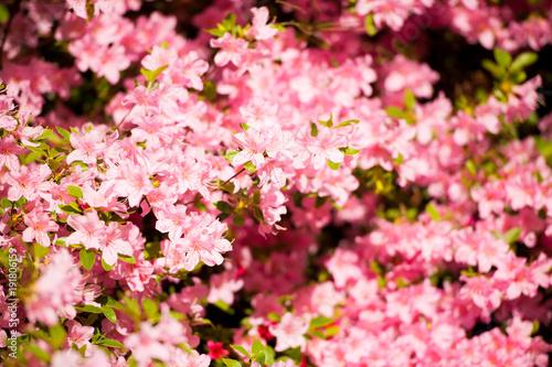 Fotobehang Azalea pink flower azalea rhododendron group bright cerise flowers background crops (Rhododendron schlippenbachii) azalea spider in centre