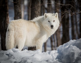 Lonely Arctic Wolf - Canis Lupus Arctos - Walking In The Snow