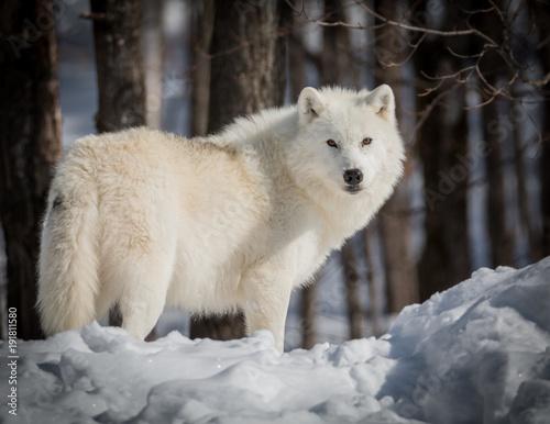 Aluminium Wolf Lonely Arctic Wolf - Canis Lupus Arctos - Walking In The Snow