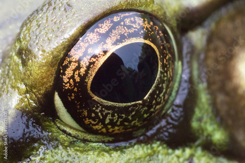Fotobehang Kikker Toad Eye