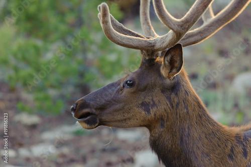 グランドキャニオンのミュール鹿 Poster